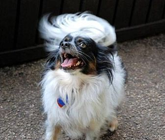 Papillon/Terrier (Unknown Type, Medium) Mix Dog for adoption in Marietta, Georgia - Ba'cho (in GA)