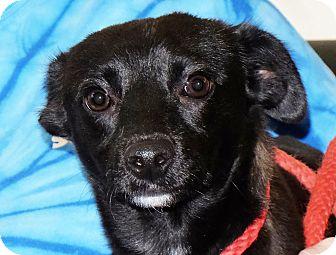 Chihuahua Mix Dog for adoption in Spokane, Washington - Enchilada