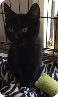 Domestic Shorthair Cat for adoption in Mt Pleasant, Pennsylvania - Black Kittens