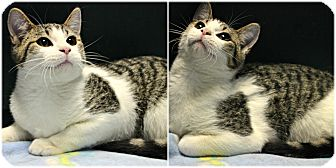 Domestic Shorthair Cat for adoption in Forked River, New Jersey - Max