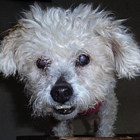 Poodle (Miniature)/Terrier (Unknown Type, Small) Mix Dog for adoption in San Diego/Imperial Beach, California - Ms. Gretel