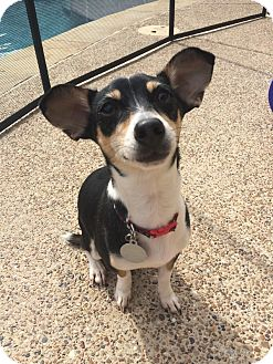 Chihuahua/Miniature Pinscher Mix Dog for adoption in MCKINNEY, Texas - Tex