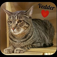 Domestic Shorthair Cat for adoption in Orlando, Florida - Vedder (LB) 9.22.14