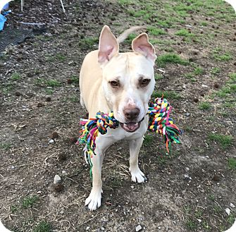 American Staffordshire Terrier/Labrador Retriever Mix Dog for adoption in Brattleboro, Vermont - Lady-See Video!
