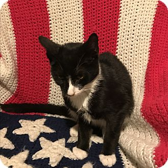 Domestic Shorthair Cat for adoption in millville, New Jersey - jordan