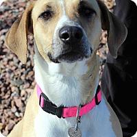 Adopt A Pet :: ROSEBUD - Westminster, CO