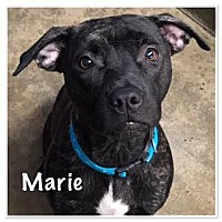 Adopt A Pet :: Marie - North Brunswick, NJ