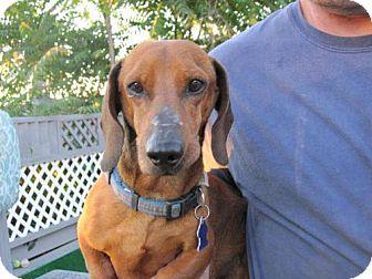 Dachshund Dog for adoption in Atascadero, California - Beasley