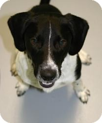 Springer Spaniel/Labrador Retriever Mix Dog for adoption in Muskegon, Michigan - Sebastian