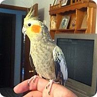 Adopt A Pet :: Laylah - Lenexa, KS