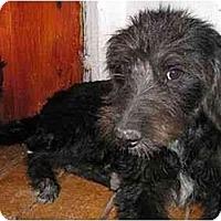 Adopt A Pet :: Toshiro - Albuquerque, NM