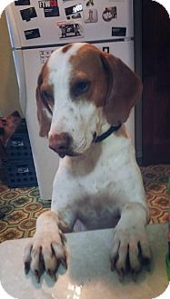 Hound (Unknown Type) Mix Dog for adoption in Providence, Rhode Island - Hubert
