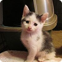 Adopt A Pet :: BIJAN - Acme, PA