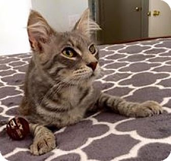 Domestic Mediumhair Cat for adoption in Riverview, Florida - Baxter