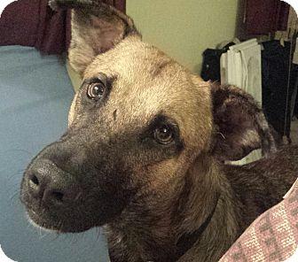 German Shepherd Dog/Labrador Retriever Mix Dog for adoption in Beachwood, Ohio - Sammie - courtesy listing