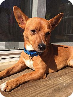 Chihuahua/Dachshund Mix Dog for adoption in Warrenville, Illinois - Knox