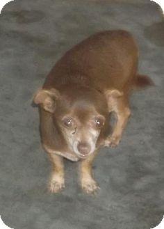 Chihuahua Dog for adoption in Bonifay, Florida - Cocomama