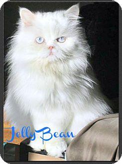 Persian Cat for adoption in Gilbert, Arizona - Jelly Bean