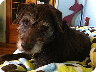 Wirehaired Pointing Griffon Dog for adoption in Denver, Colorado - Kenya