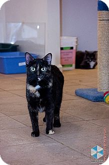 Domestic Shorthair Cat for adoption in Columbia, Maryland - Chrissy