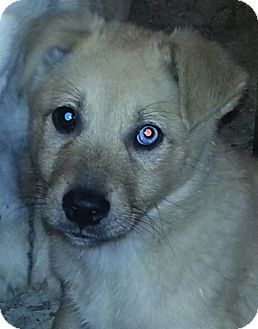 Husky/Great Pyrenees Mix Puppy for adoption in Chicago, Illinois - Indy (PENDING!)