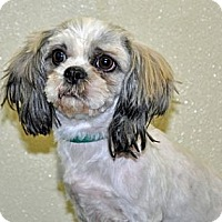 Adopt A Pet :: Darla - Port Washington, NY