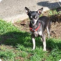 Adopt A Pet :: Amigo - Tumwater, WA