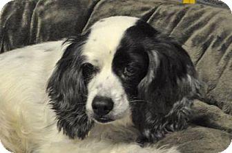 Cavalier King Charles Spaniel Mix Dog for adoption in Suwanee, Georgia - Munchie