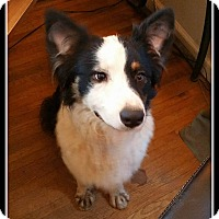 Adopt A Pet :: Shilo - Indian Trail, NC