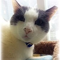 Adopt A Pet :: Sugar Cookie - Huntington, NY
