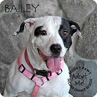 Australian Cattle Dog/American Staffordshire Terrier Mix Dog for adoption in Council Bluffs, Iowa - Bailey