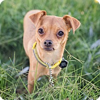 Chihuahua/Italian Greyhound Mix Puppy for adoption in Oakley, California - Princess