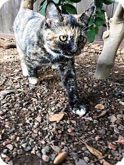 Domestic Shorthair Kitten for adoption in Dublin, California - Pico