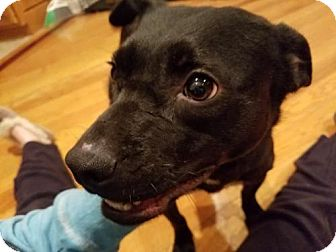 Pit Bull Terrier/Australian Shepherd Mix Puppy for adoption in Woonsocket, Rhode Island - Neva