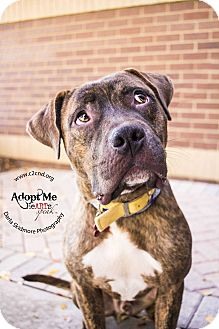 Pit Bull Terrier Mix Dog for adoption in Charlotte, North Carolina - Andre 3000 (Outkast)