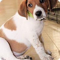 Adopt A Pet :: Olaf - Toledo, OH