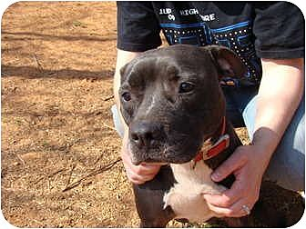 American Pit Bull Terrier Mix Dog for adoption in Blanchard, Oklahoma - Midge