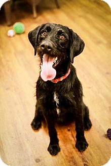 German Wirehaired Pointer Mix Dog for adoption in Lake Odessa, Michigan - Lila