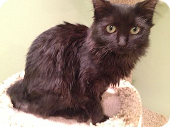 Domestic Shorthair Kitten for adoption in East Hanover, New Jersey - Auggy and Ajax