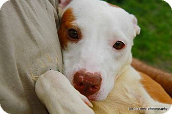 Pit Bull Terrier Mix Dog for adoption in Chicago, Illinois - CLIO