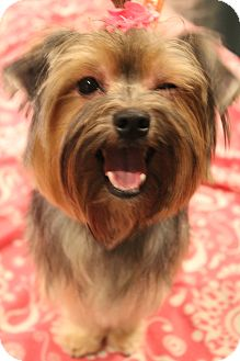Yorkie, Yorkshire Terrier/Maltese Mix Dog for adoption in Bedminster, New Jersey - Daisy Mae