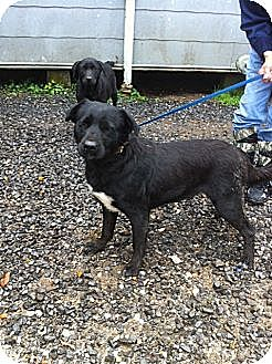 Labrador Retriever Mix Dog for adoption in Baton Rouge, Louisiana - Betty
