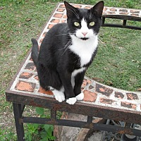 Domestic Shorthair Cat for adoption in Zolfo Springs, Florida - Bekky