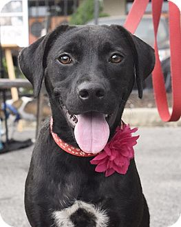 Labrador Retriever Mix Dog for adoption in Knoxville, Tennessee - Marie