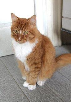 Domestic Longhair Cat for adoption in New Bern, North Carolina - Tom