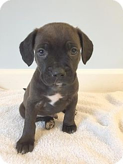 Staffordshire Bull Terrier/Pit Bull Terrier Mix Puppy for adoption in Spring Lake, New Jersey - Titan