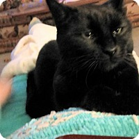 Domestic Shorthair Cat for adoption in Richmond, Virginia - Izzy