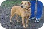 Labrador Retriever/Golden Retriever Mix Dog for adoption in Summerville, South Carolina - Celia
