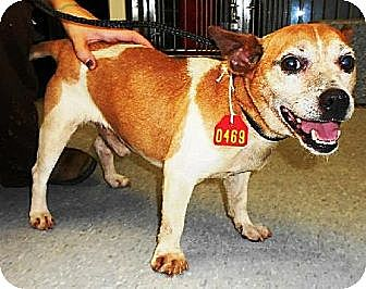 Jack Russell Terrier Dog for adoption in Columbia, Tennessee - Sammie