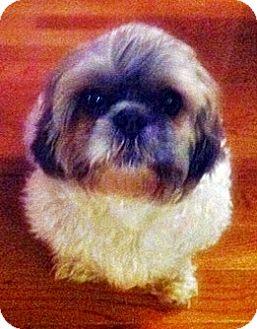 Shih Tzu Mix Dog for adoption in Toronto, Ontario - Cysco